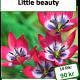 Little beauty, 10 lökar