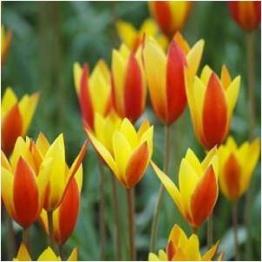 Clusiana Chrysantha, 10 lökar