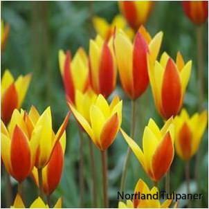 Clusiana chrysantha