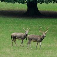 Pere David deer