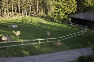 Red stags in horse paddock   ©  Rolf Eriksson 2011
