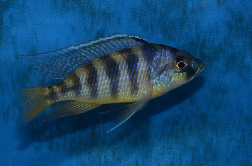 Mylochromis Mola