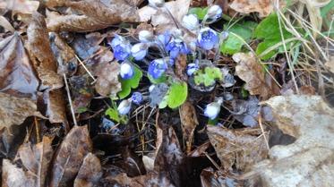 Idag hittade vi vårens första blåsippor