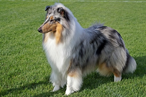 BIR, BIS junior, BIS, Best Blue Merle Judge: George Schogol