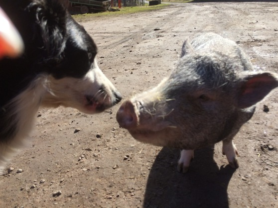 Philip the little pig and Celtic our BorderCollie enjoy the weather