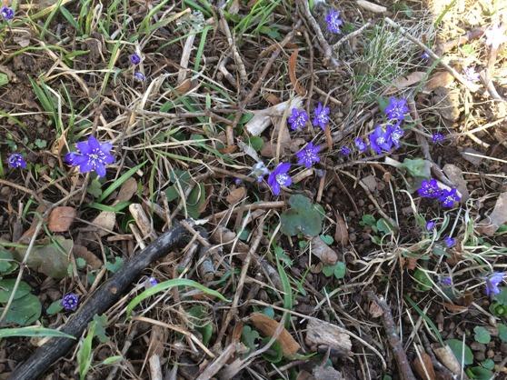 Beutiful Blue-anemones