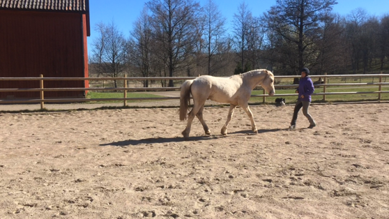 """My new little star, """"Bubba"""" doing liberty training. And responding really good. Its the 4;th time in the ridingarena"""