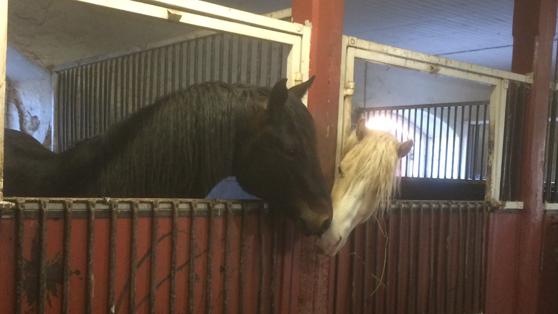 My ponny stallions Sheridan and Bubba wishing eachother goodnight