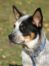"""Black mask and tan markings on a blue dog- Working Mates Another Dewil """"Junior"""""""