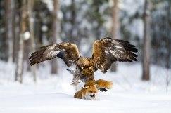 Golden eagle&Red fox hem02