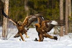 Golden eagleH24