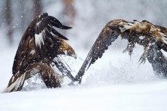 Golden eagles H