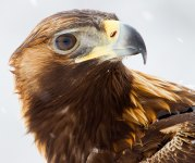 Golden eagle portrait 2012FA