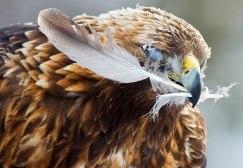 Golden eagle feather FA 2