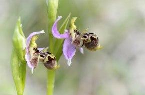 Ophrys cornutula, en ganska vanlig art på Rhodos