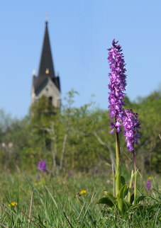St Pers nycklar (Orchis mascula), Kinnekulle
