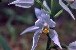 Cephalanthera longifolia, Öland 2000-06-04