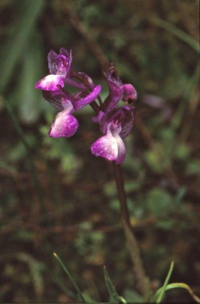 Färgvariant av A. syriaca, Cypern 2002-03-14