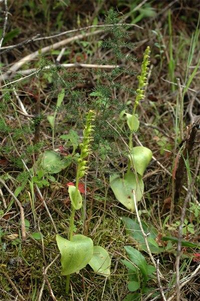 G. diphylla, inte så lätt att få öga på i allt annat grönt. Sardinien 2006-04-26