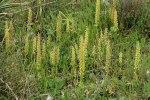 Orchis anthropophora, Sardinien (It.) 2006-04-25