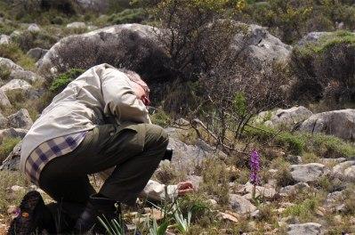 O. sezikiana blir oftast större än ögonnycklarna. Chios, Grekland, 2009-04-07
