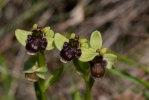 Ophrys bombyliflora, Toscana 2010-04-14