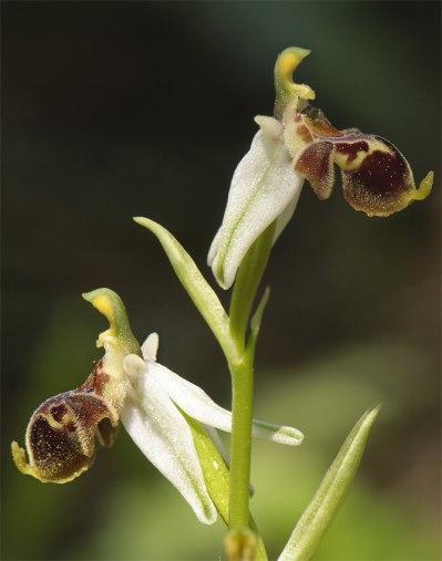 O. dodecanensis, Rhodos, 2011-04-05
