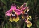 Ophrys_tenthredinifera_grandiflora_4