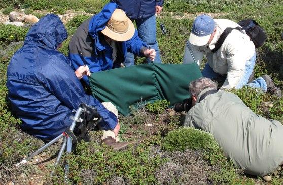 En blåsig dag vid besök på en O. halia-lokal. Rhodos, 2011-04-08