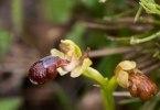 Ophrys omegaifera, Rhodos 2011-04-03