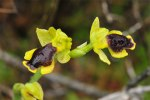 Ophrys sicula, Chios (Gr.) 2009-04-