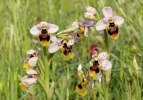 Ophrys neglecta, Sardinien 2006-04-28