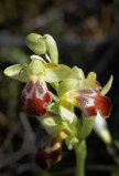 Ophrys creberrima
