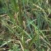 Dactylorhiza lapponica x maculata , Blomsöy, (No.) 2002-06-27