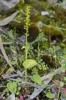 Gennaria diphylla, Malaga, Spanien 2013-04-07