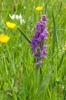 Dactylorhiza occitanica, Seranon (Fr.) 2011-05-18