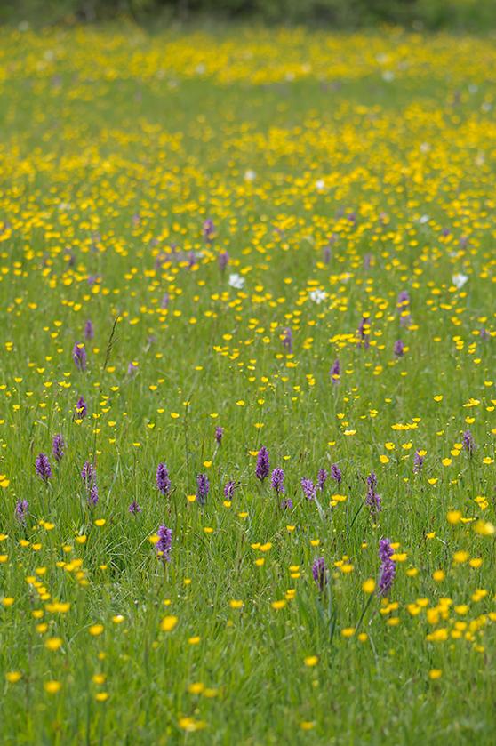 Våt miljö med D. occitanica och D. majalis s.l, Seranon, (Fr.) 2011-05-18