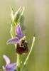 Ophrys fuciflora, Comps-sur-Artuby (Fr.) 2013-05-25