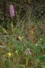 Orchis anthropophora x italica, Gargano (It.) 2011-04-28