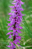 Orchis mascula subsp speciosa, Dolomiterna 2006-06-24