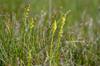 Herminium monorchis, Österplana, Kinnekulle 2011-07-06