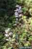 Cephalanthera longifolia x rubra, Gotska Sandön 2011-07-07