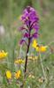 Orchis quadripunctata, Gargano (It.) 2011-04-27