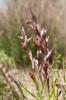 Serapias orientalis subsp siciliensis, Etna, Sicilien 2012-04-22