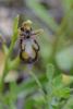 Ophrys speculum, Alhaurin el Grande, Malaga (Sp.) 2013-04-07
