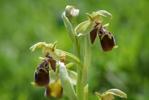 Ophrys bucephala, Andissa, Lesbos (Gr.) 2014-04-14