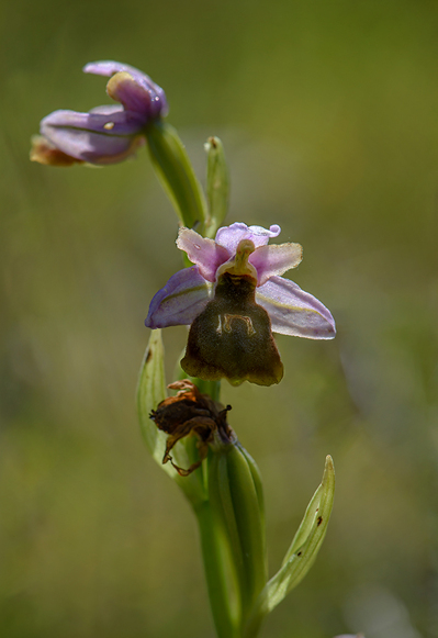 Ophrys lesbis, Andissa, Lesvos 2014-04-14. Den varma våren hade gjort att de flesta exemplaren hade blommat färdigt vid vårt besök.