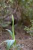 Himantoglossum comperianum, Sanatorio, Lesvos (Gr.) 2014-04-17