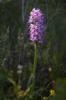 Orchis simia, Lesvos 2014-04-14