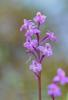 Orchis quadripunctata, Lesvos (Gr.) 2014-04-16